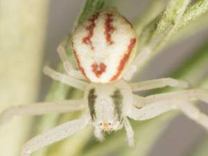 picture of a crab spider, mecaphesa