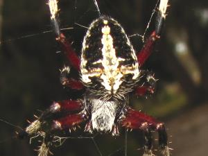 picture of a Spotted Orbweaver spider, neoscona-domiciliorum