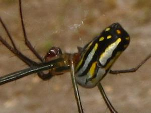 picture of an Orchard Orbweaver spider