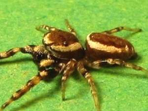 picture of a White-cheeked Jumping Spider, (Pelegrina proterva)