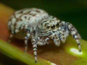 picture of a Jumping Spider, Pelegrina galathea