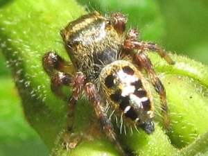 picture of a Jumping Spider, Phidippus princeps