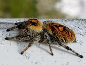 picture of a Regal Jumping Spider, (Phidippus regius)
