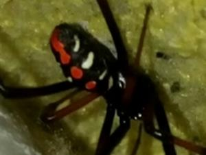 picture of a Southern Black widow spider