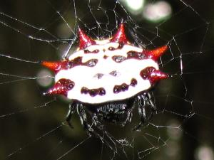 picture of a Red Spiny-backed Orbweaver
