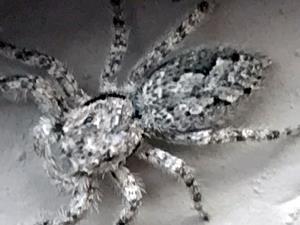 picture of a Jumping Spider, (Platycryptus undatus)