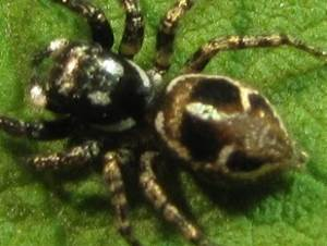picture of a Jumping Spider, (Anasaitis canosa)