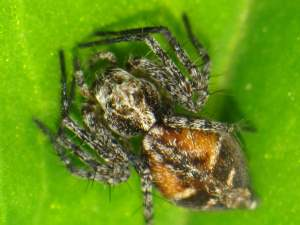 picture of a Western Lynx spider