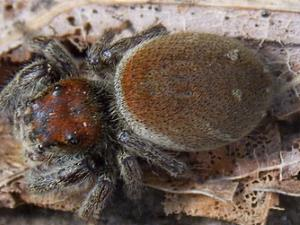 picture of a Whitman's Jumping Spider,