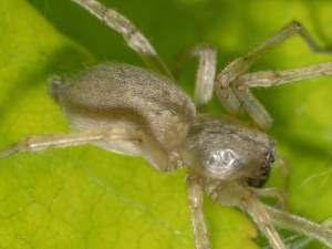 picture of a Yellow Sac Spider