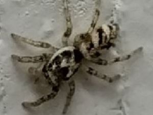 picture of a Zebra Spider