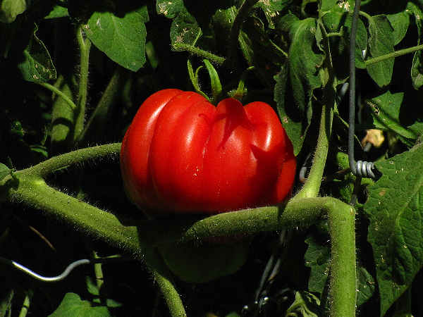 picture of a vine tomato for the vegetables section
